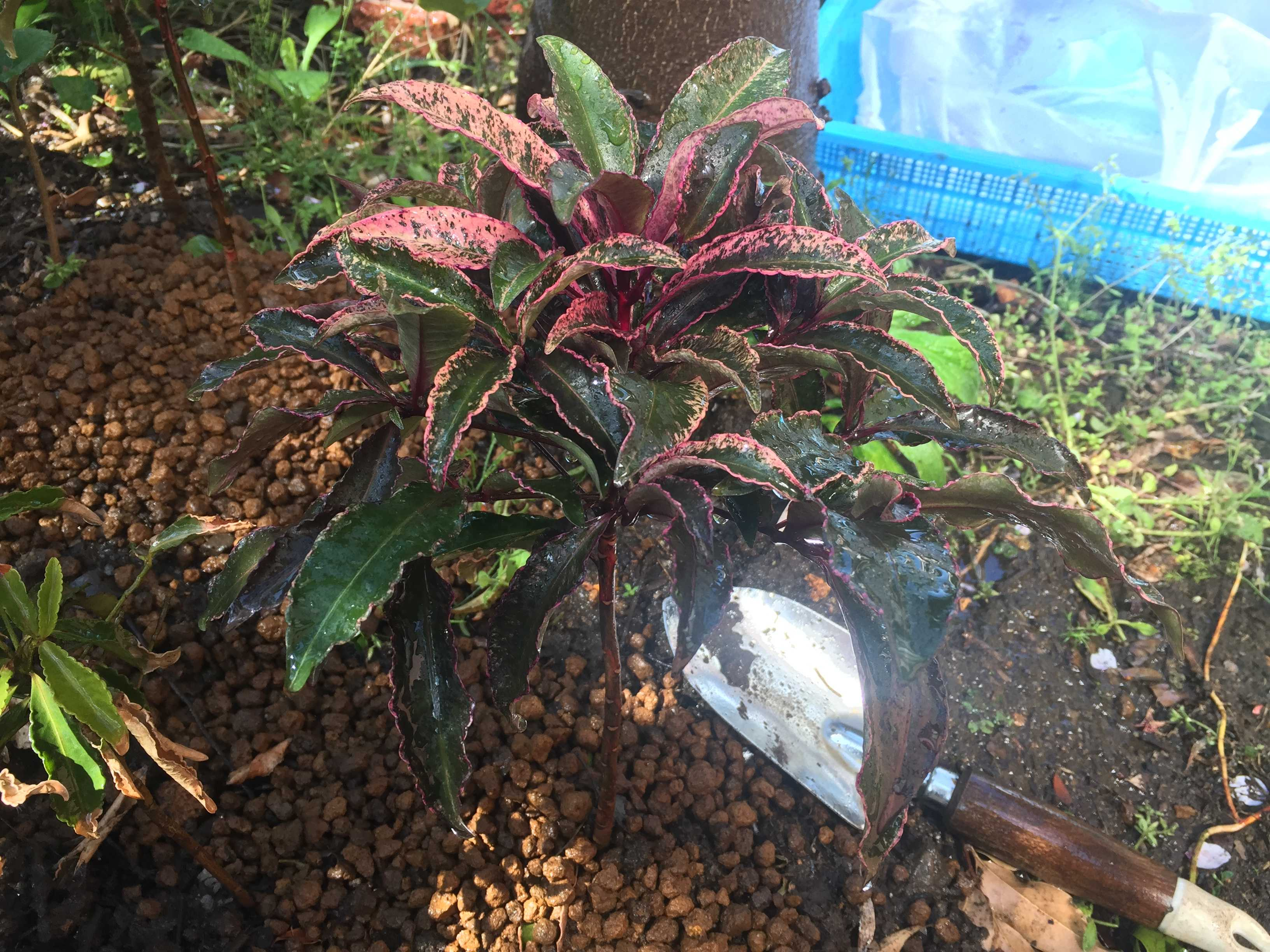 万両 紅孔雀の植え付け - 砂子斑(すなごふ)入りの紅葉(あかば)