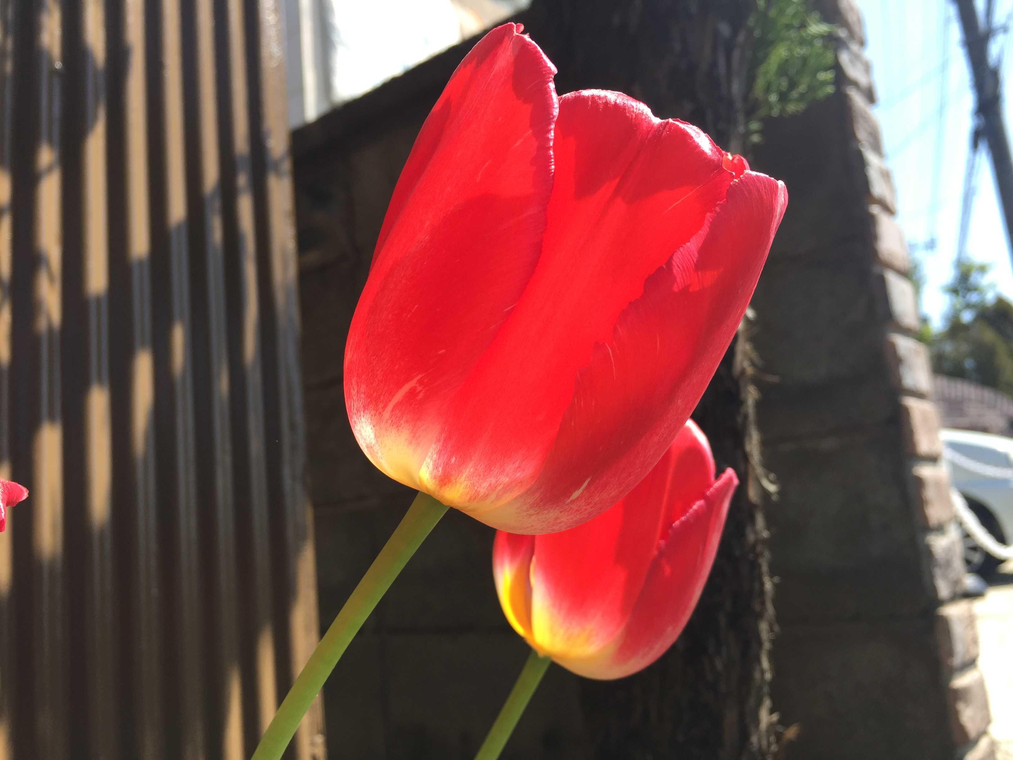 赤い花のチューリップ