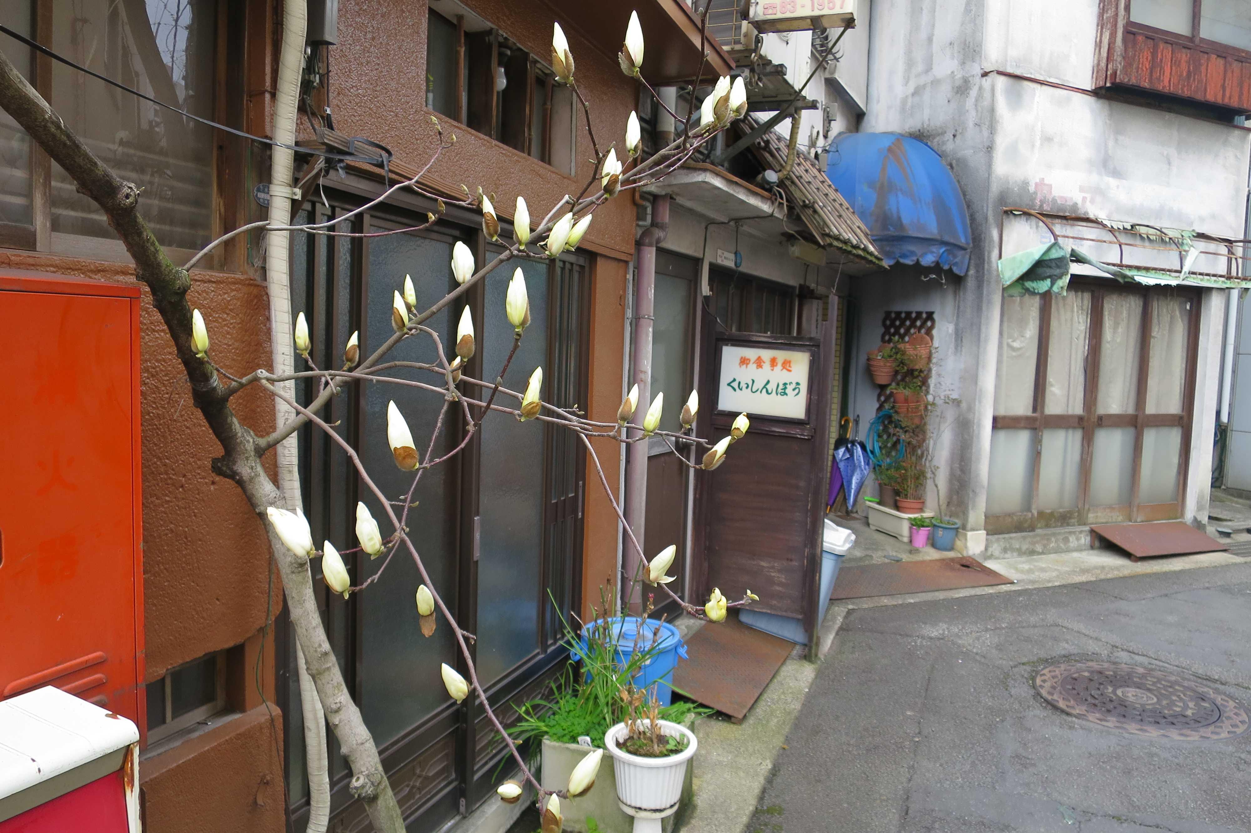 熱海 - 白木蓮(ハクモクレン)