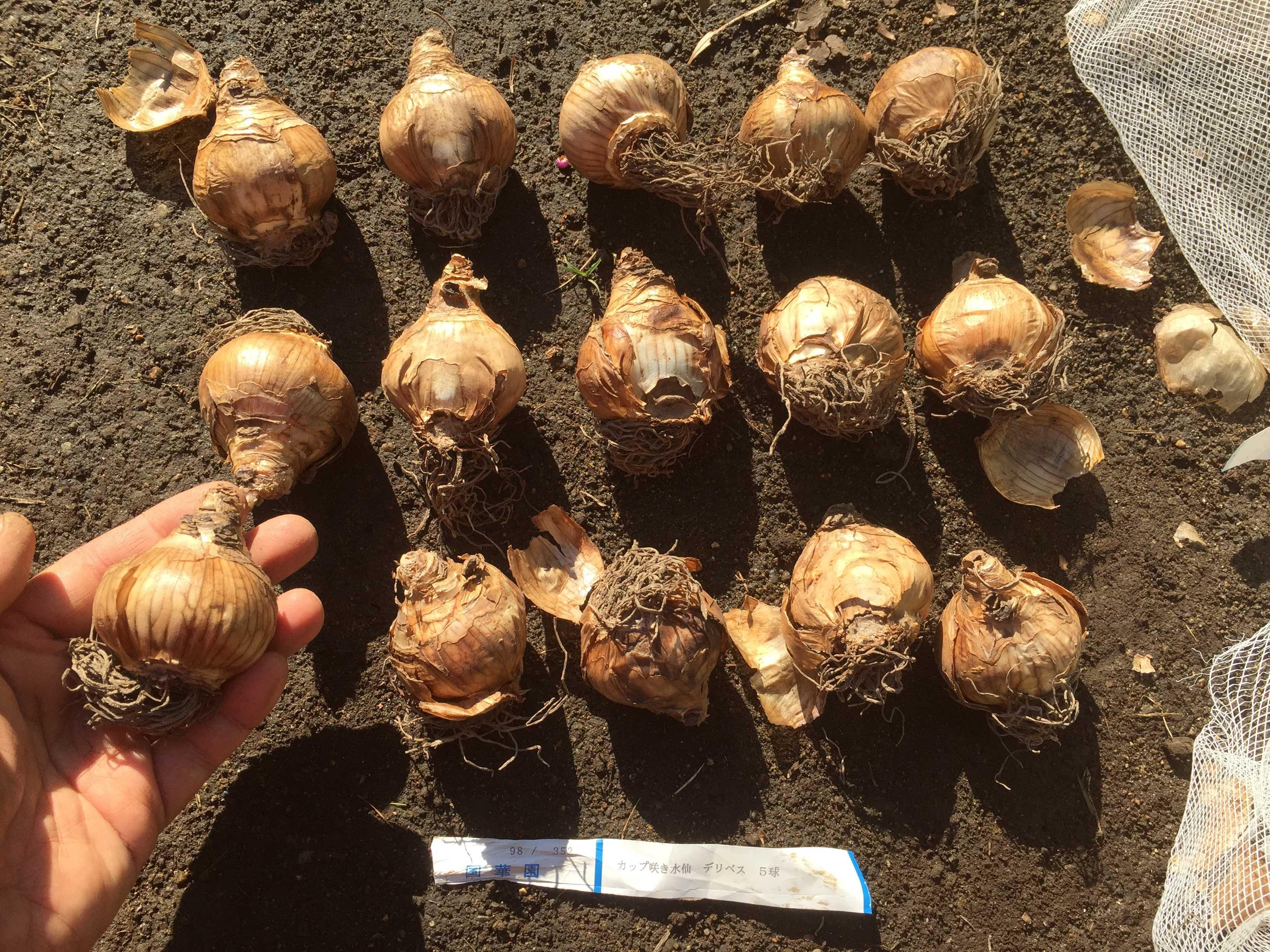 デリベスの球根 - 水仙の球根の植え方
