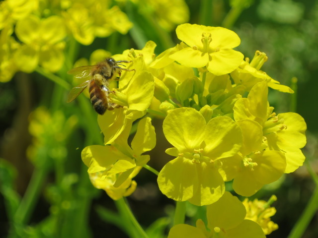 真っ黄色な菜の花とみつばち