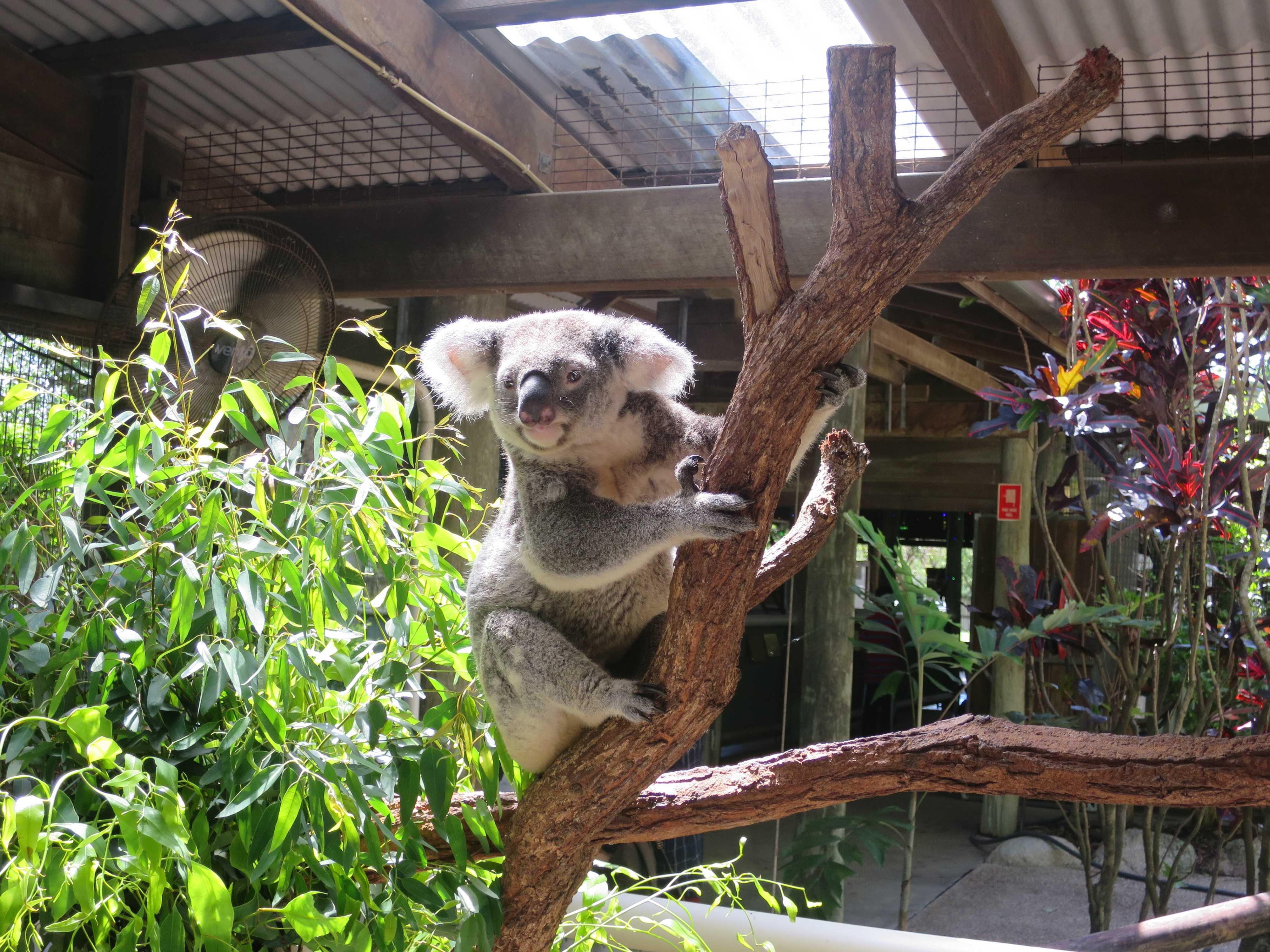 ケアンズトロピカルズー - 木にしがみつくコアラ