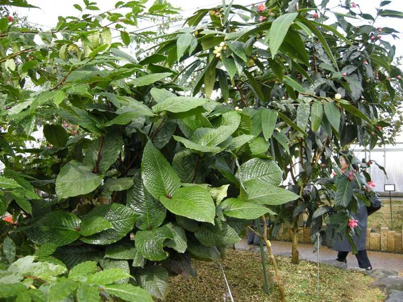 ベトナム産椿 - ムラウチイ(ムラウチィ)の木