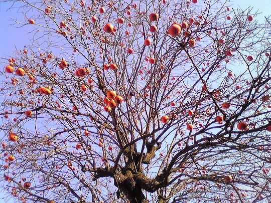 柿の木 - 山梨県・春日居果実温泉郷