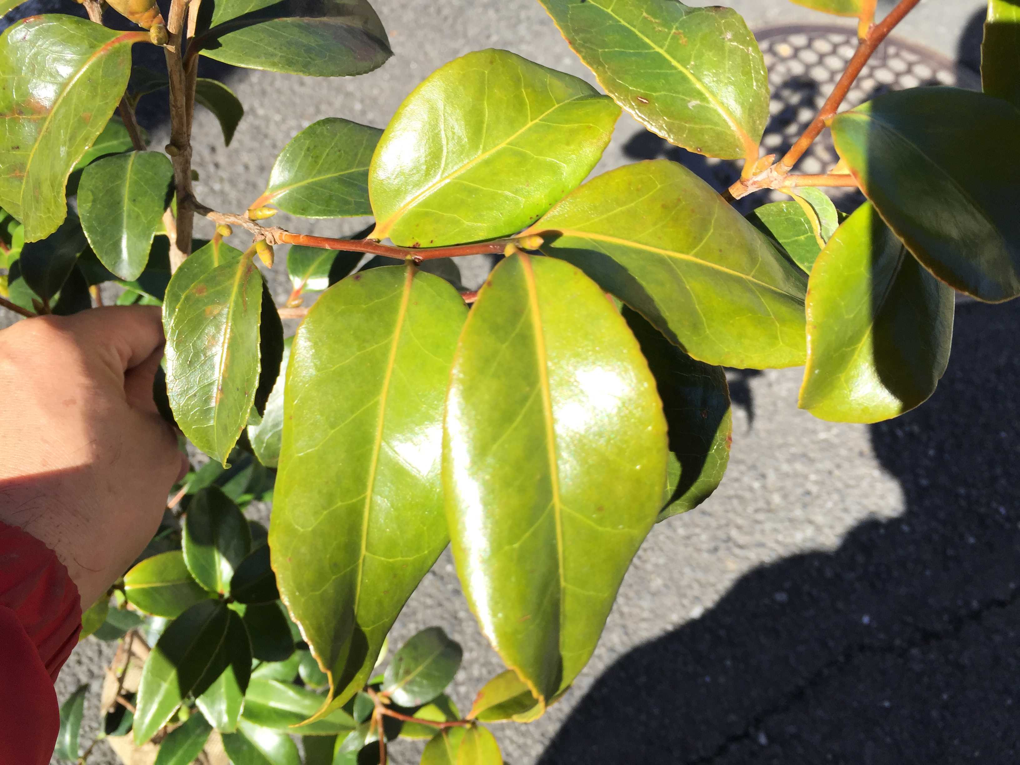 藪椿「玉之浦」の葉っぱ