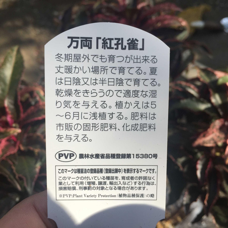 PVP 万両「紅孔雀(ベニクジャク)」 品種登録第15380号