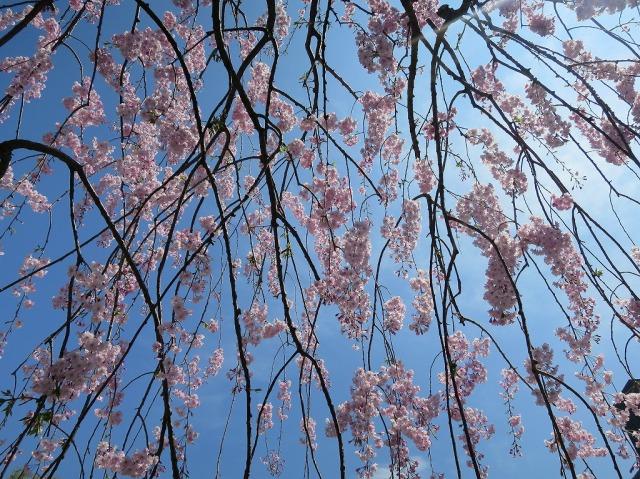 福傳寺 (福伝寺)の枝垂れ桜の枝