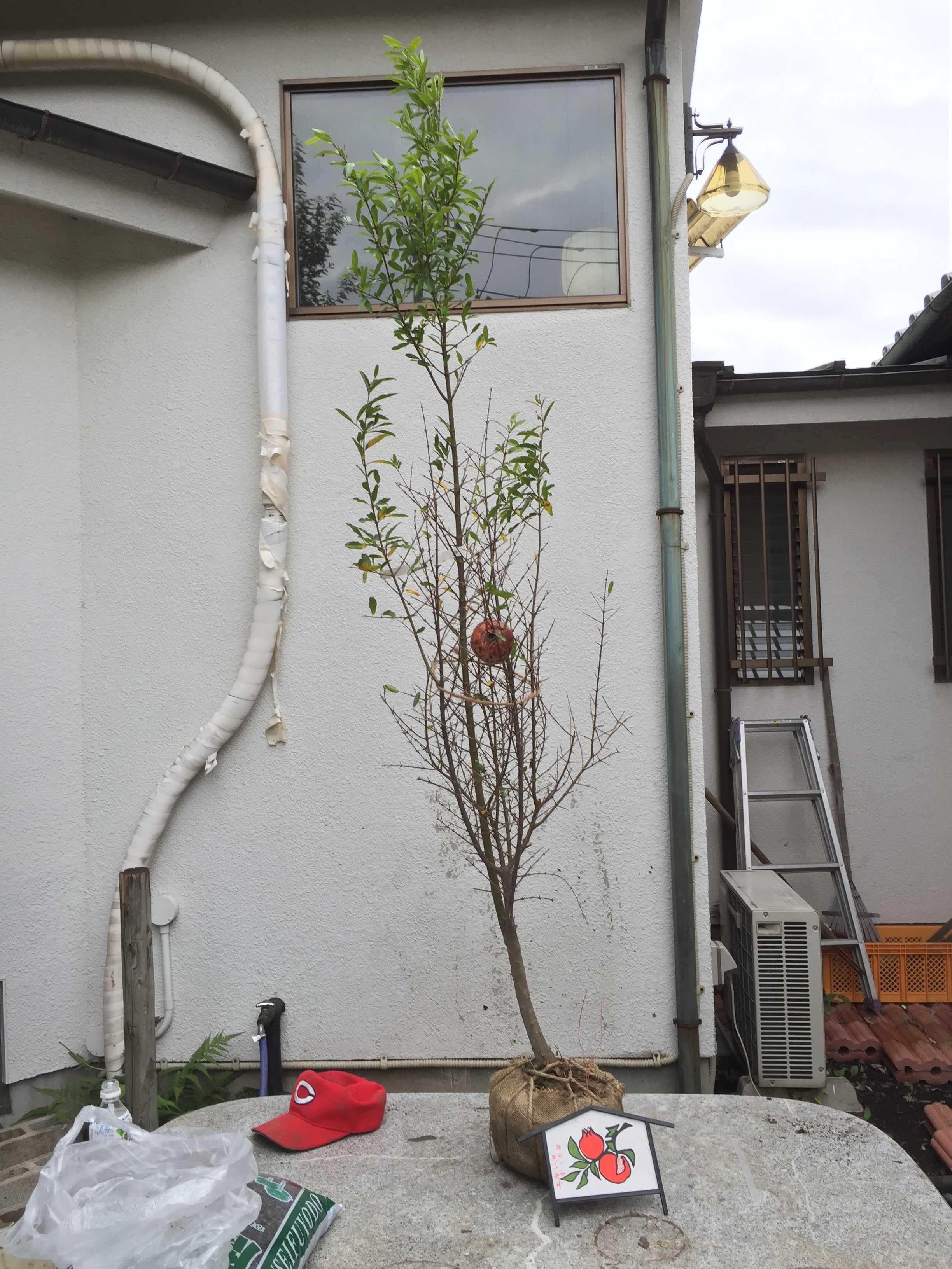 届いたザクロの木(樹形)