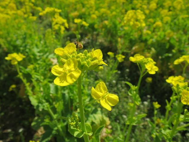 飛ぶ蜜蜂と菜の花