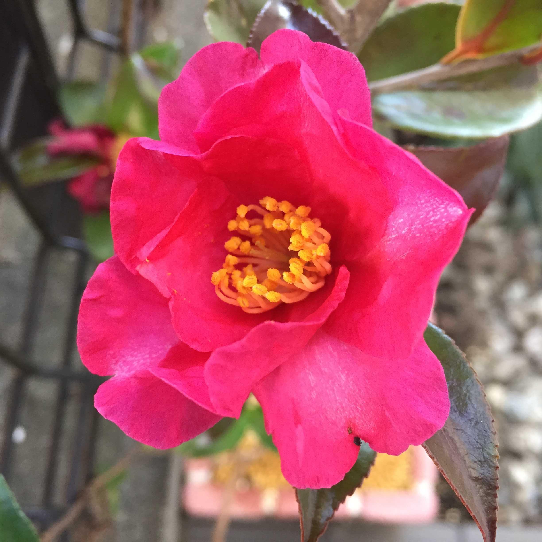 サザンカ(立ち寒椿/タチカンツバキ)の勘次郎の花びら