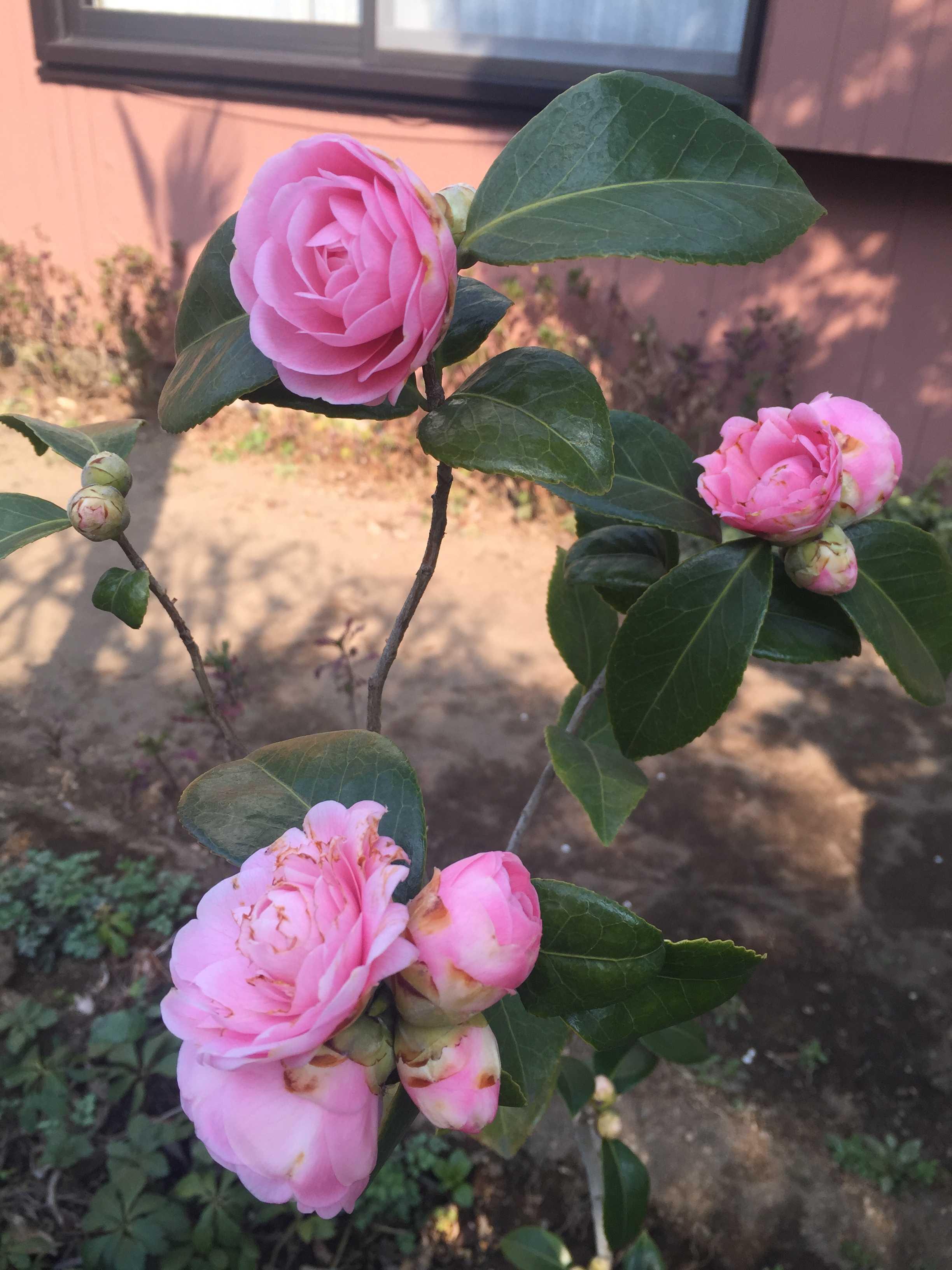 乙女椿(オトメツバキ)の花