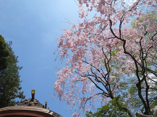 東京都八王子市・子安神社の桜