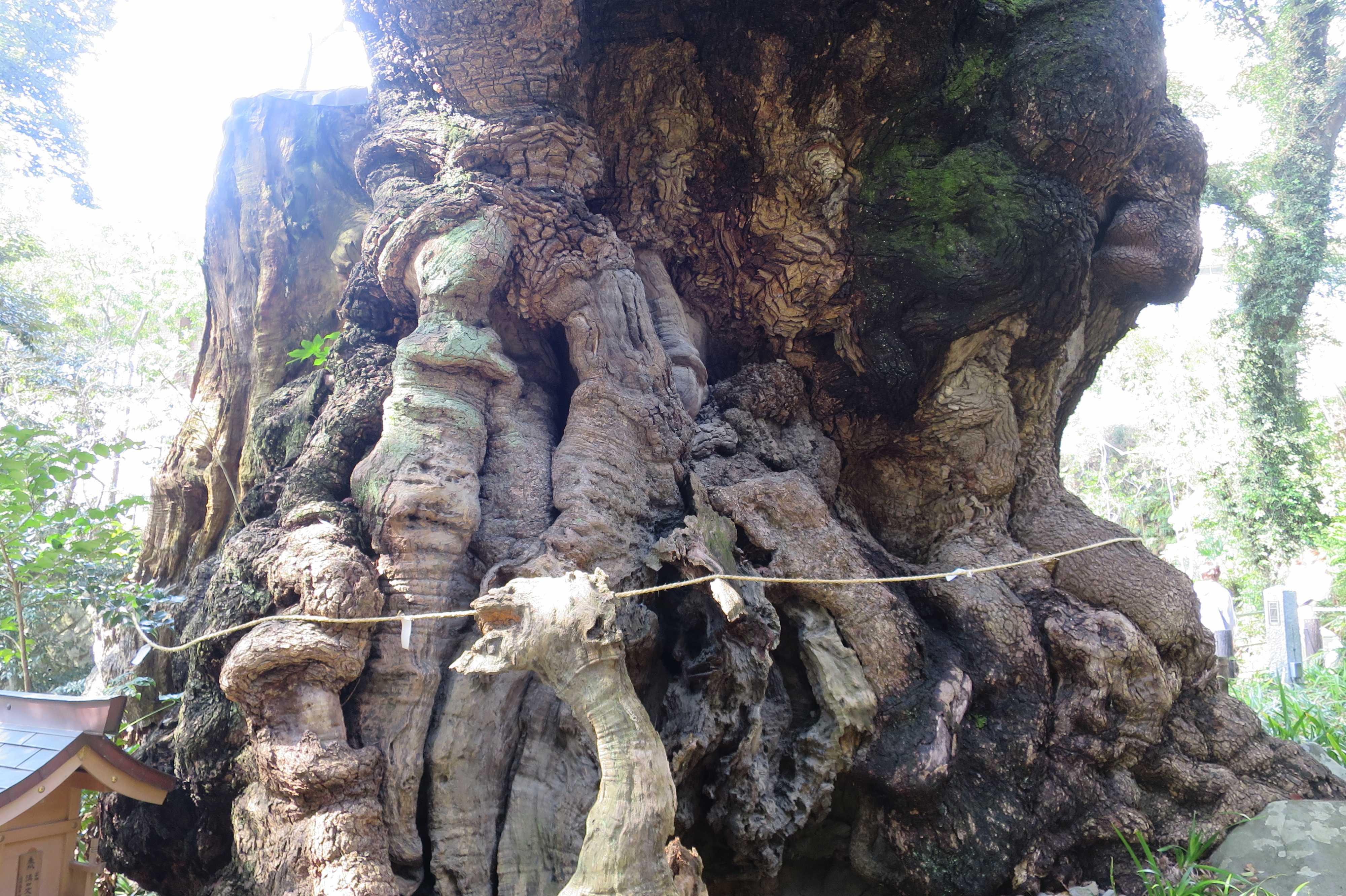 来宮神社の大楠の根