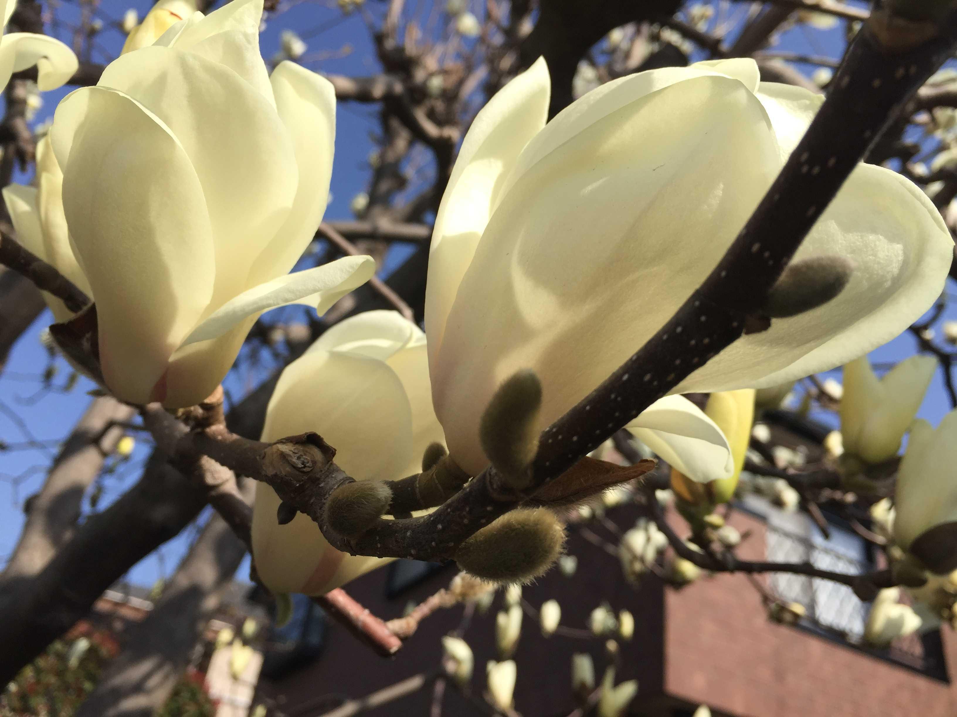 ハクモクレンの白い花