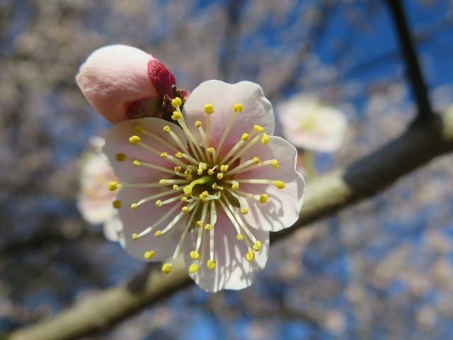 梅の花びらと蕾(つぼみ)