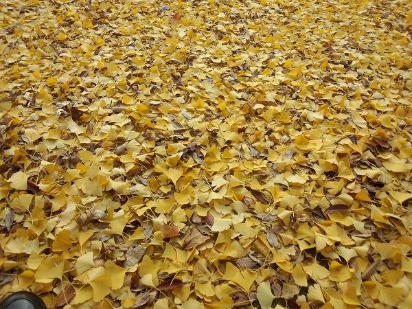 北野天満社の黄色い銀杏の葉