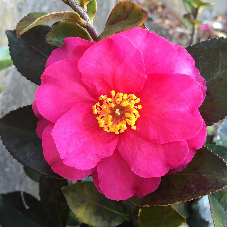 サザンカ・這い寒椿の紅い花