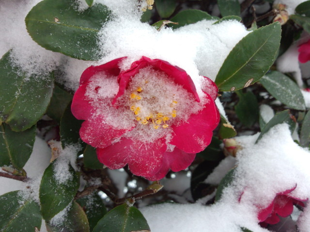 雪に埋もれるサザンカ/山茶花