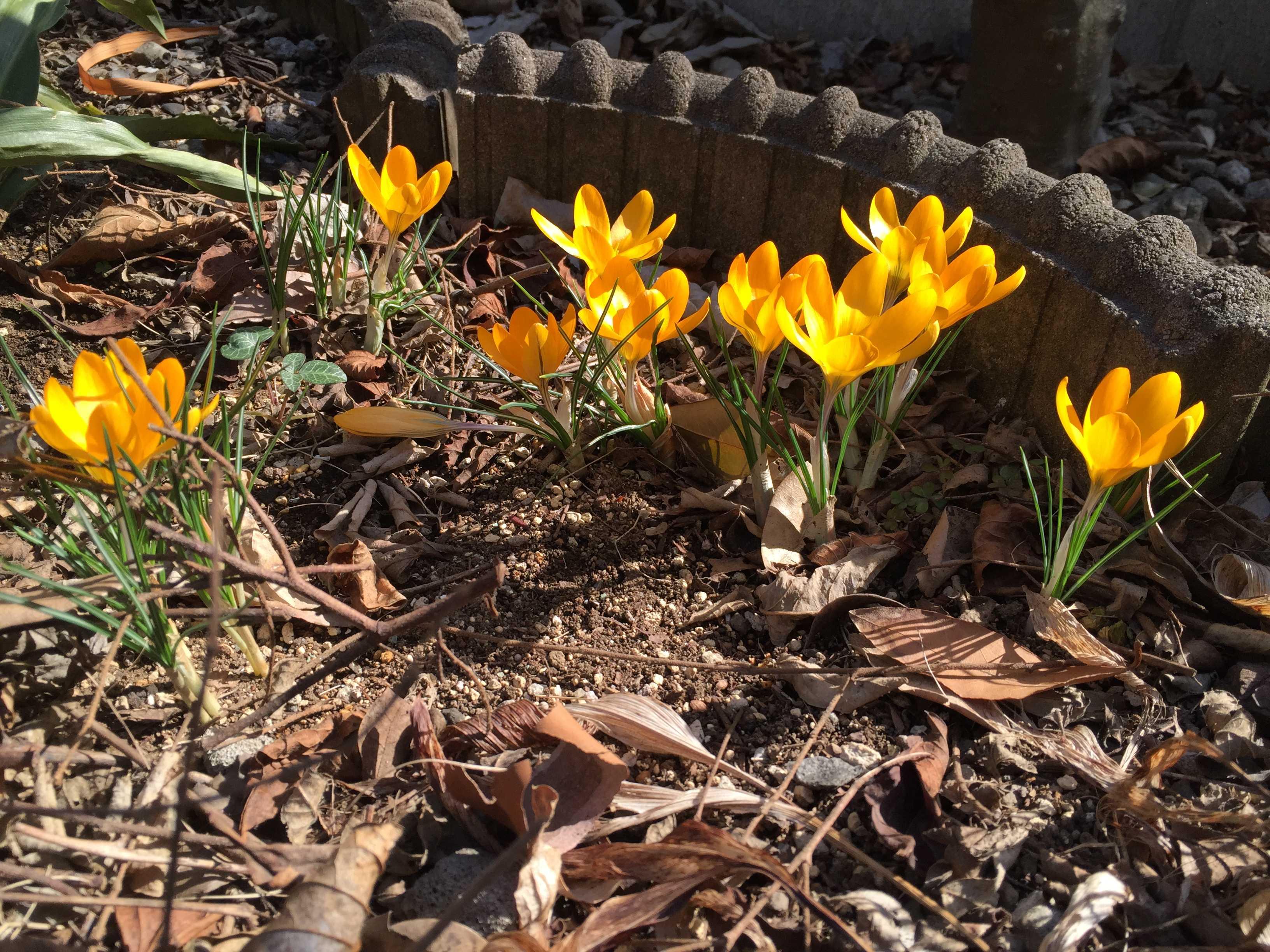 春告花 - 黄色のクロッカス