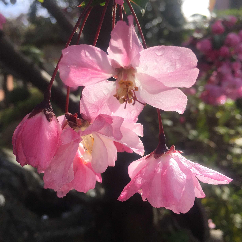 ハナカイドウ(花海棠)の花