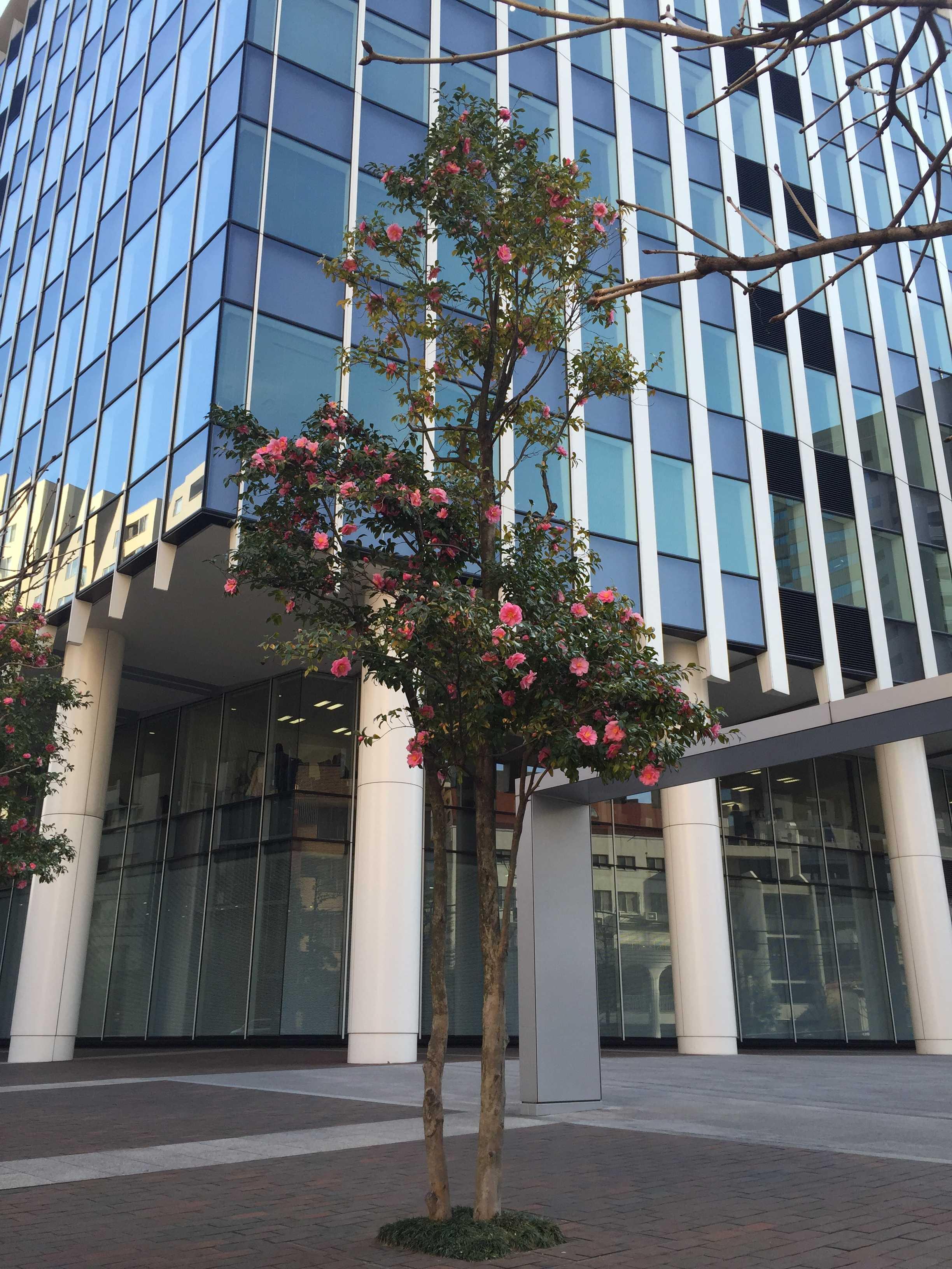 ベルギースクエアの二番町センタービル側の寒椿(春山茶花)