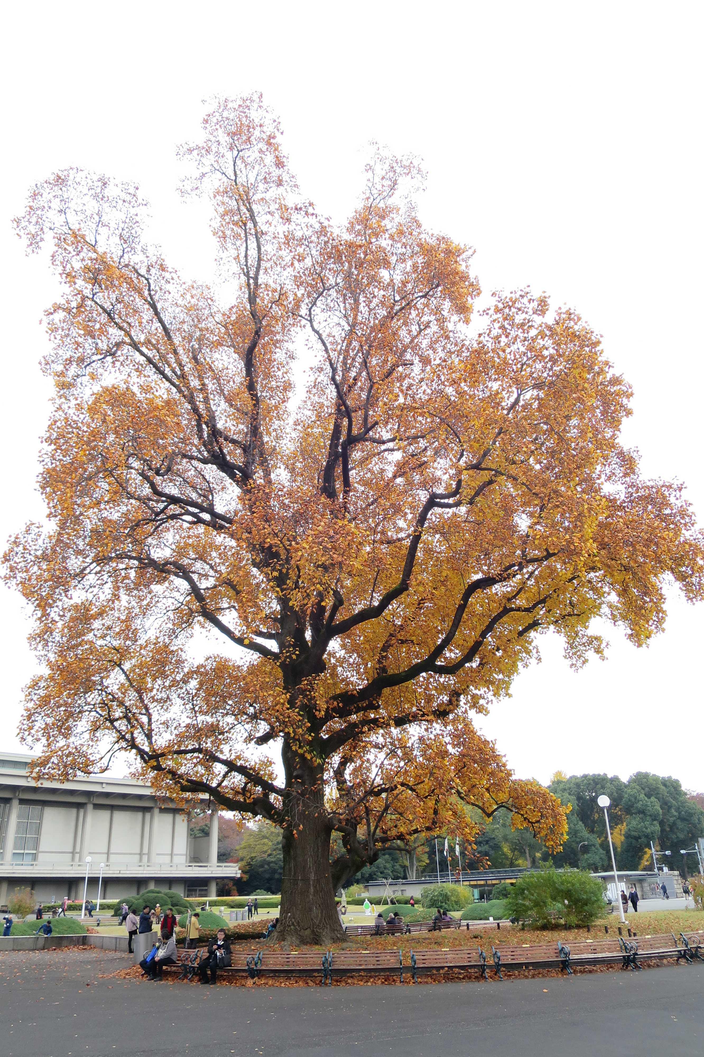 ユリノキの巨木 - 東京国立博物館