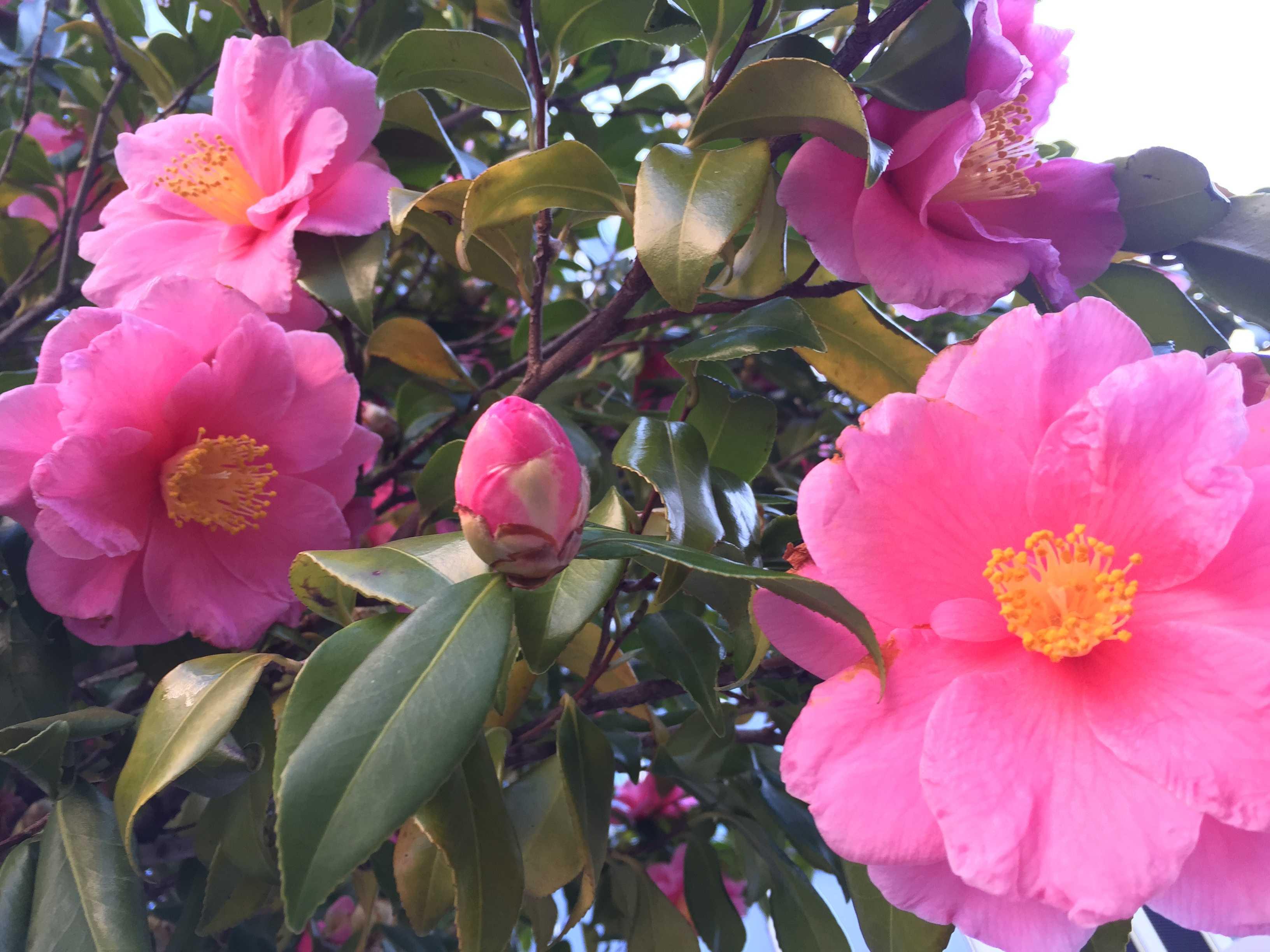 ベルギー大使館前のピンク色の寒椿(ハルサザンカの笑顔?)