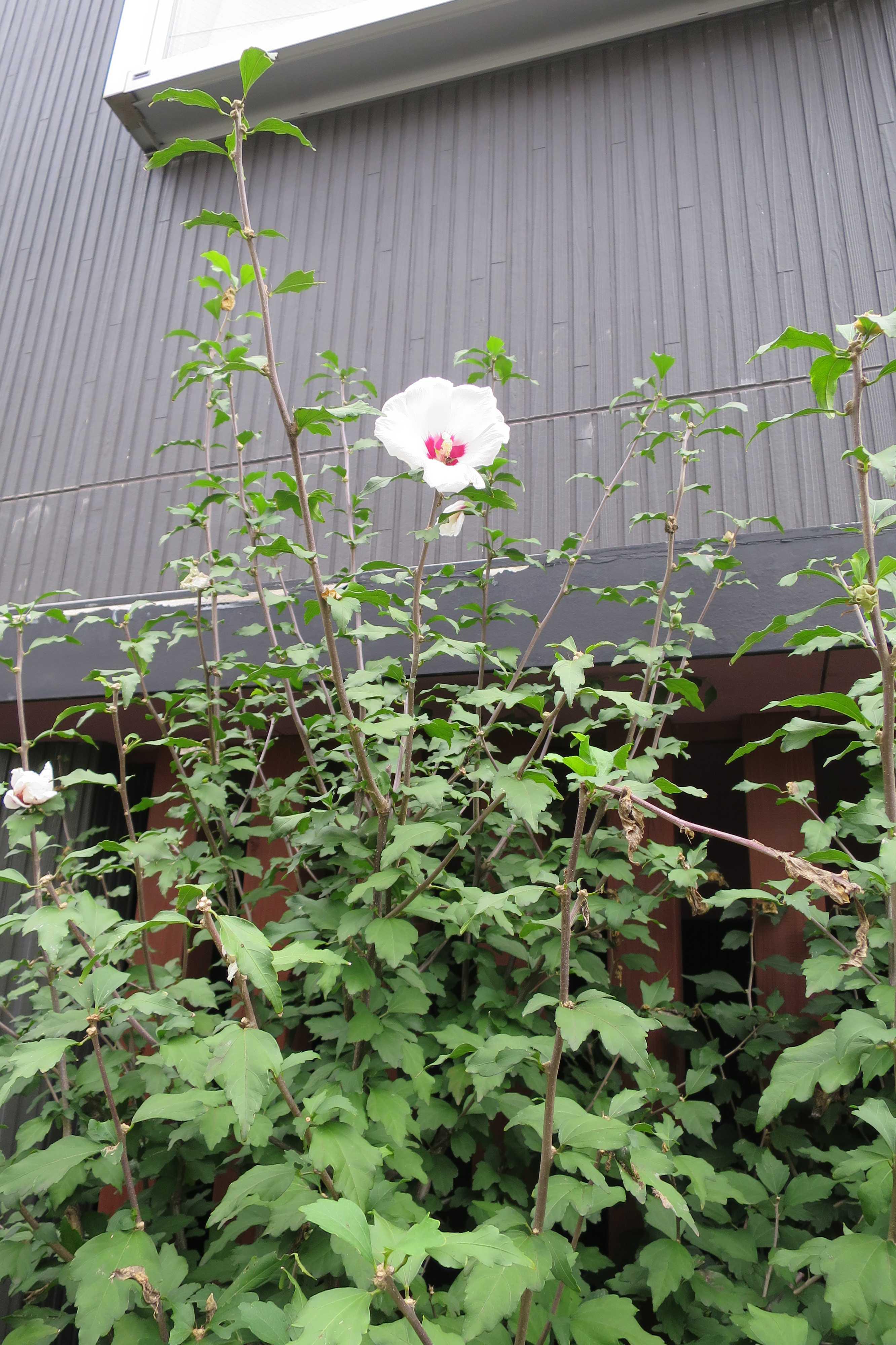 ムクゲの白い花