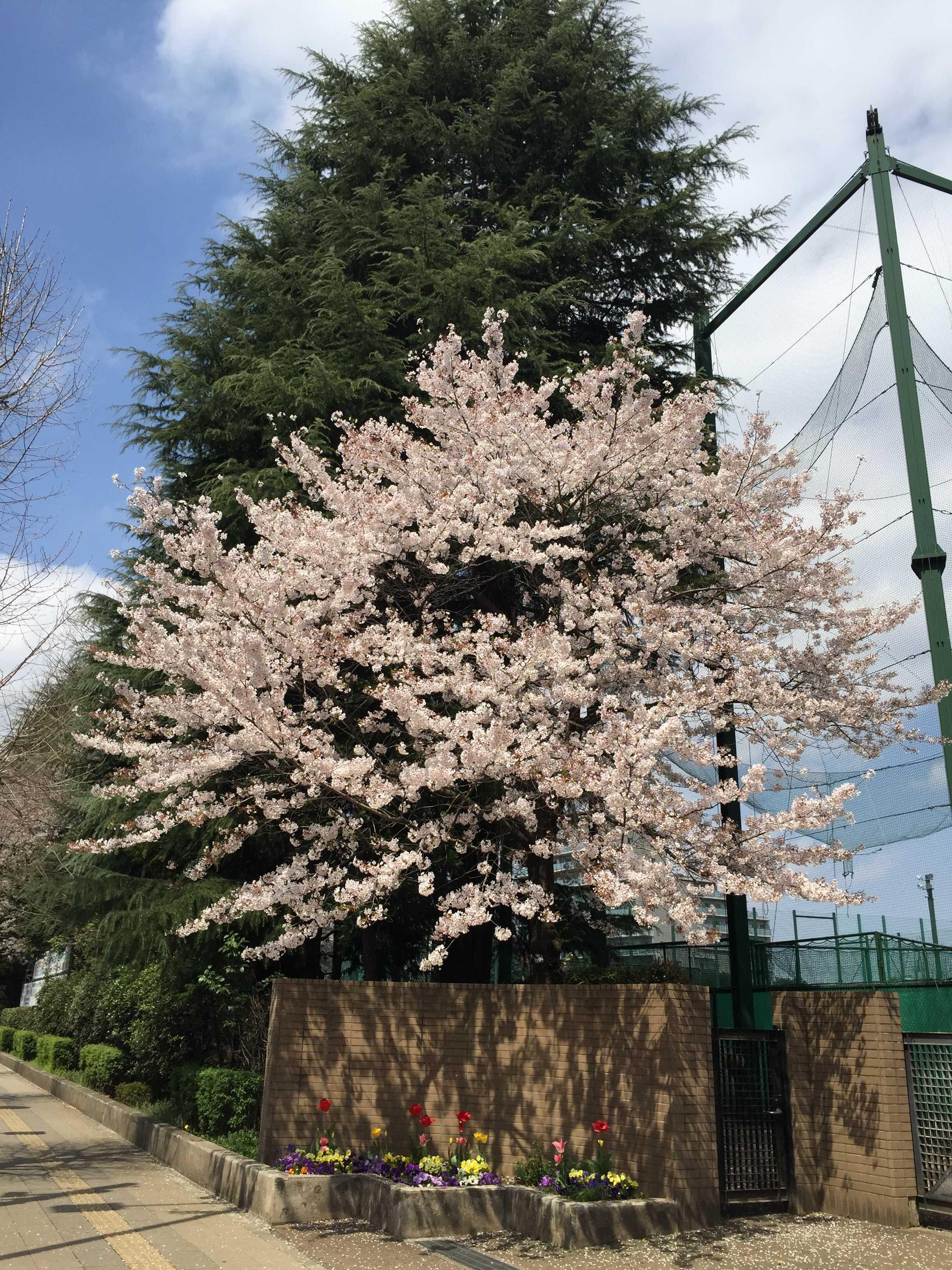 東京都立南多摩中等教育学校のサクラ