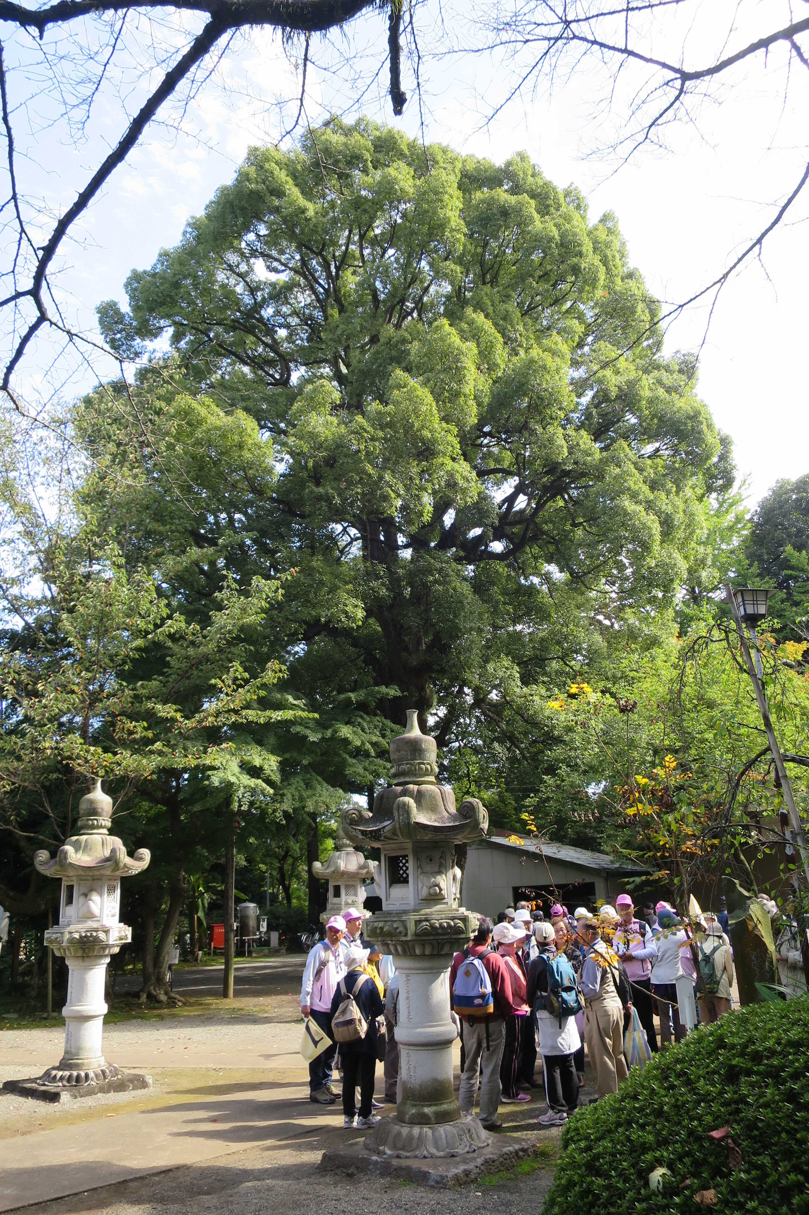 無量光寺 - 境内の大樹