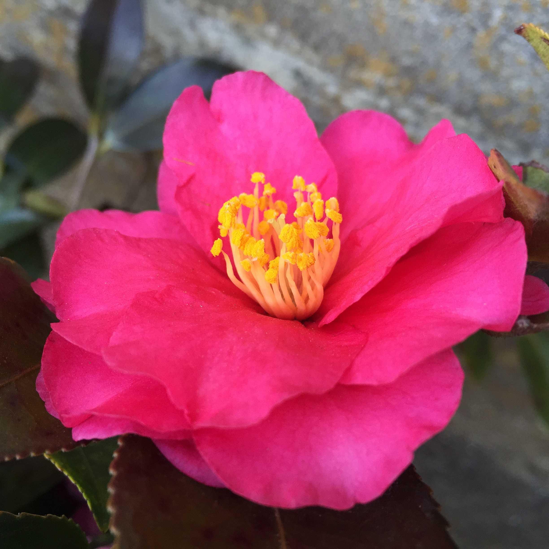 山茶花「獅子頭(シシガシラ)」の花