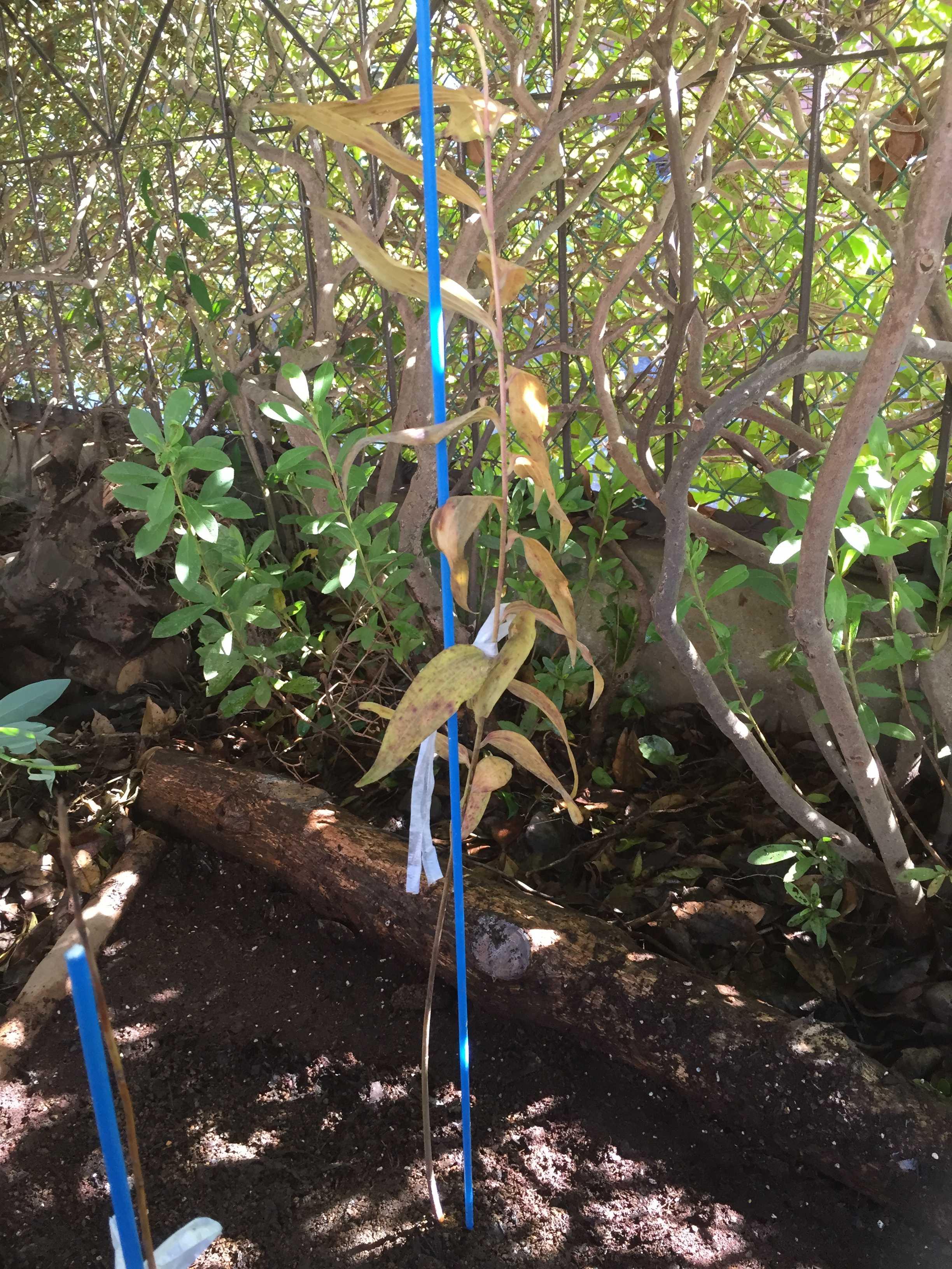 ヤマユリ庭植え - 苗