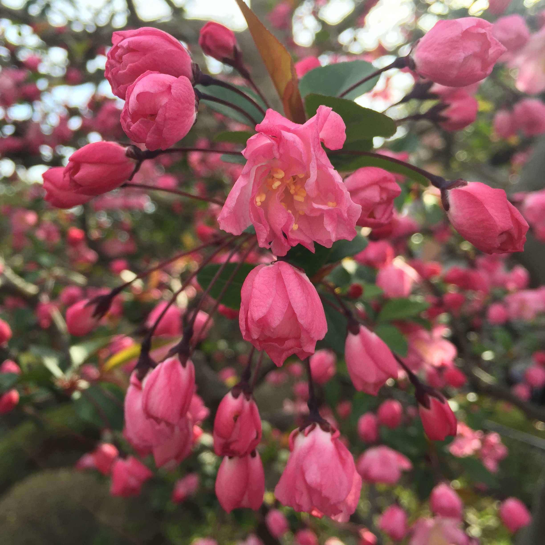 花海棠の花