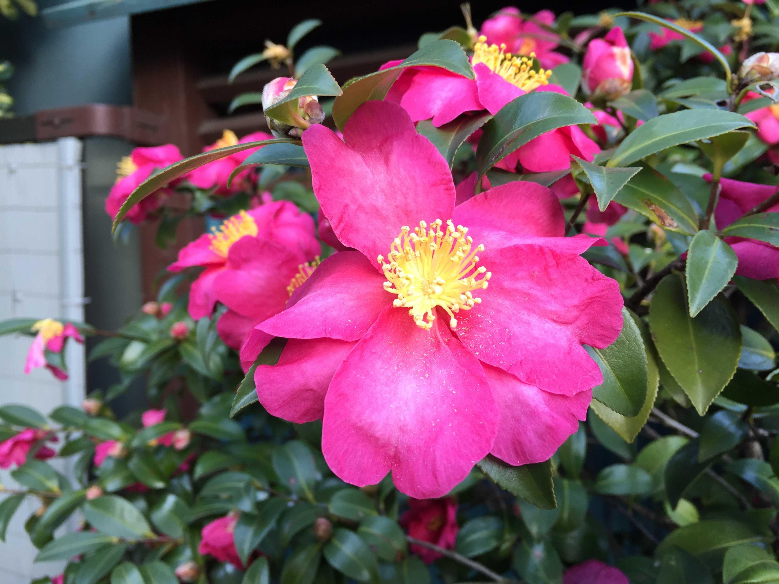 冬の花「さざんか」