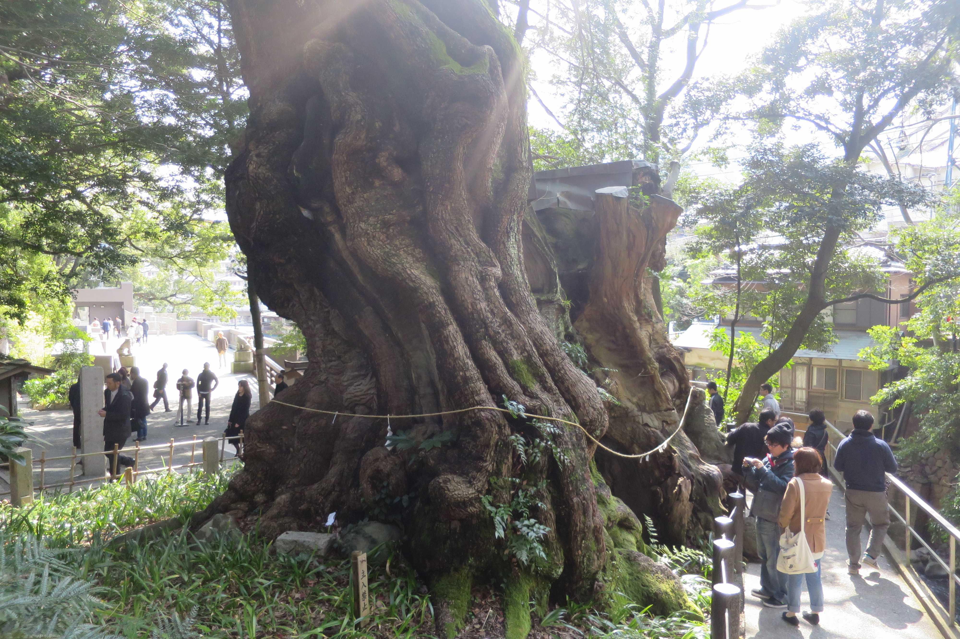 樹齢2000年 熱海・来宮神社の大楠