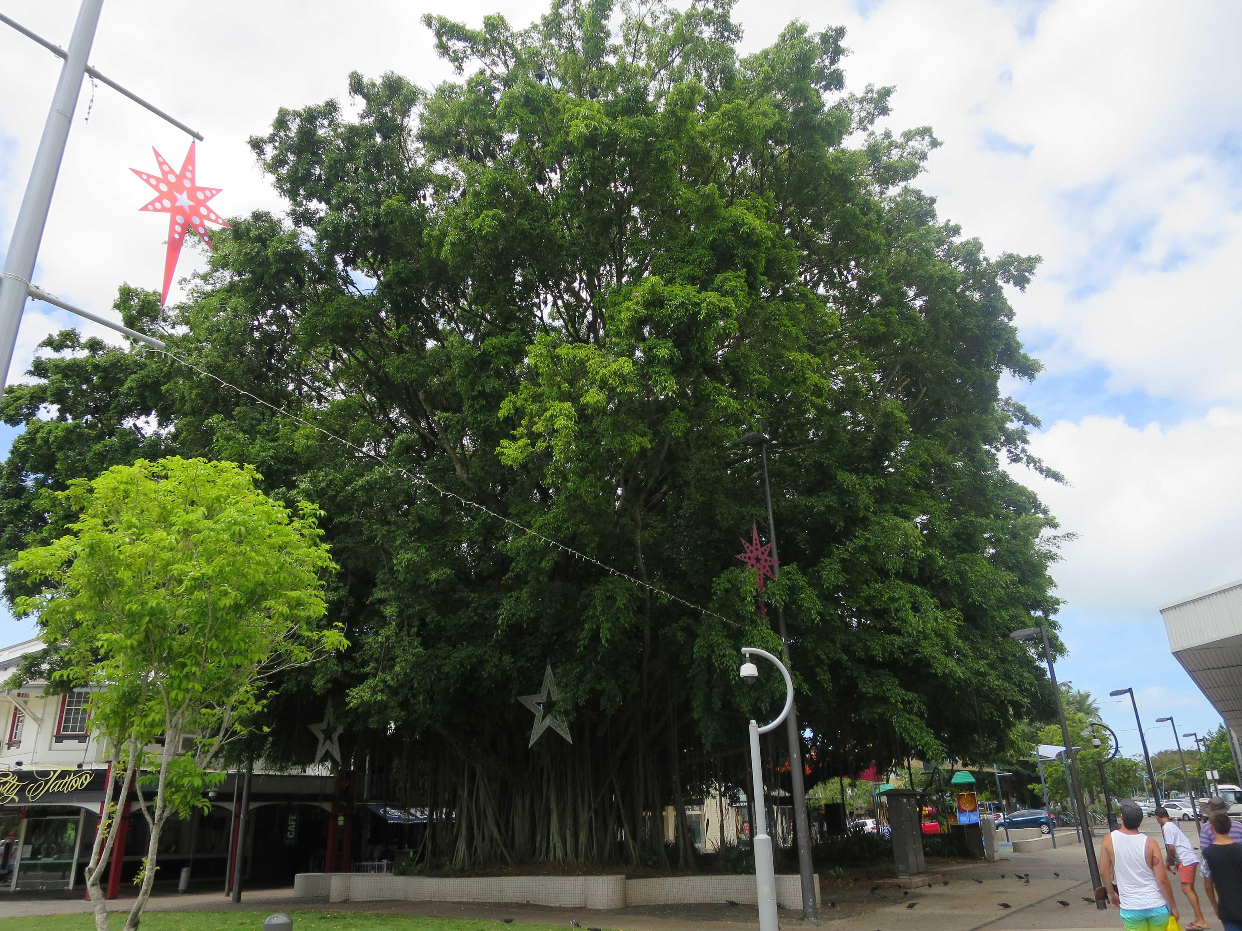 ケアンズ市内 - ガジュマルの木