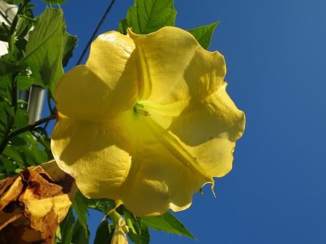 真っ黄色のキダチチョウセンアサガオ