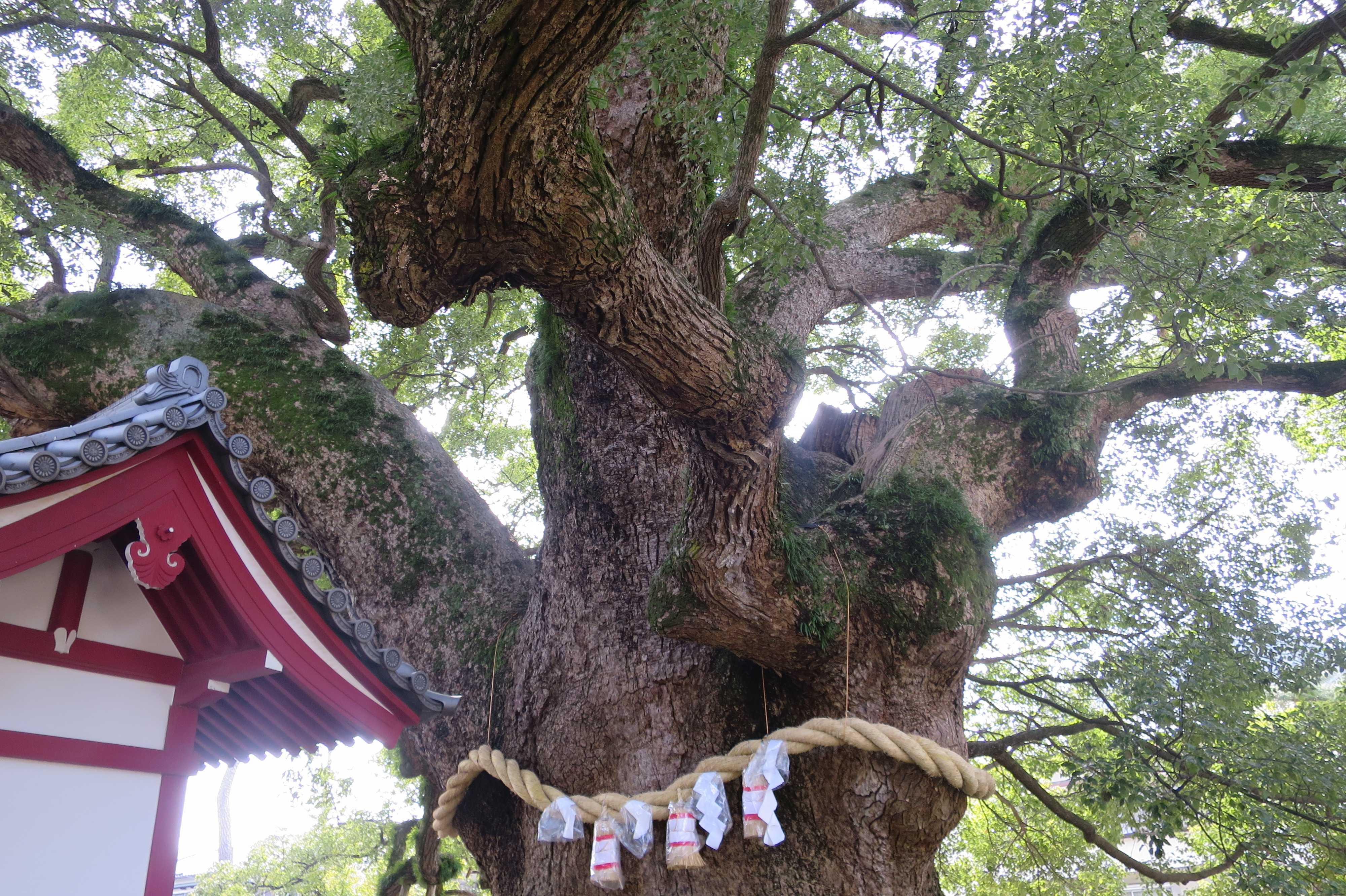 香川県天然記念物「善通寺境内の大クス」