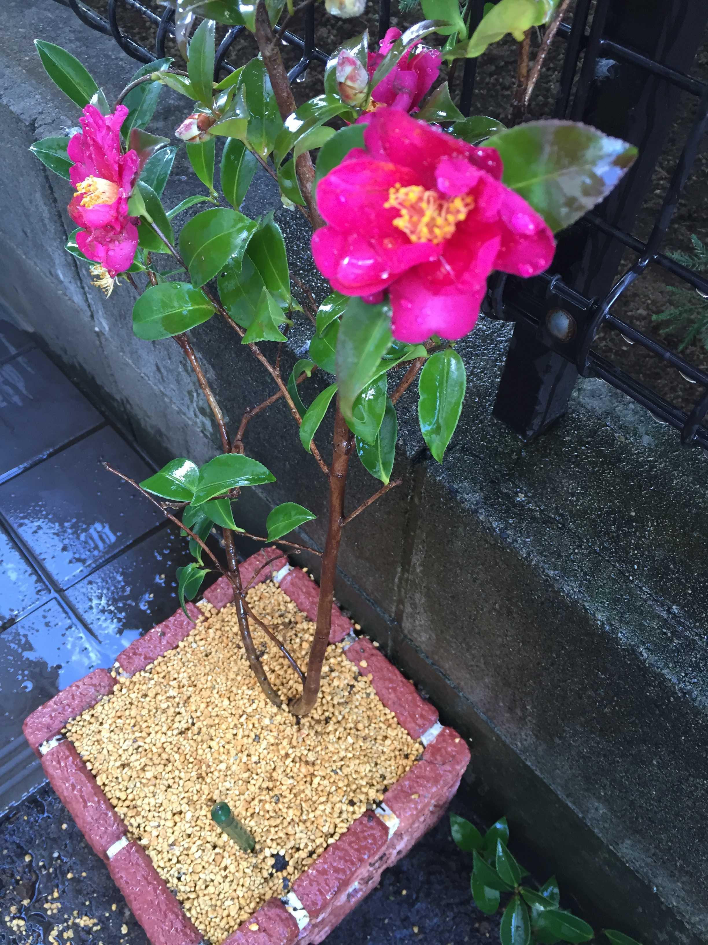 タチカン(立ち寒椿)の植え付け