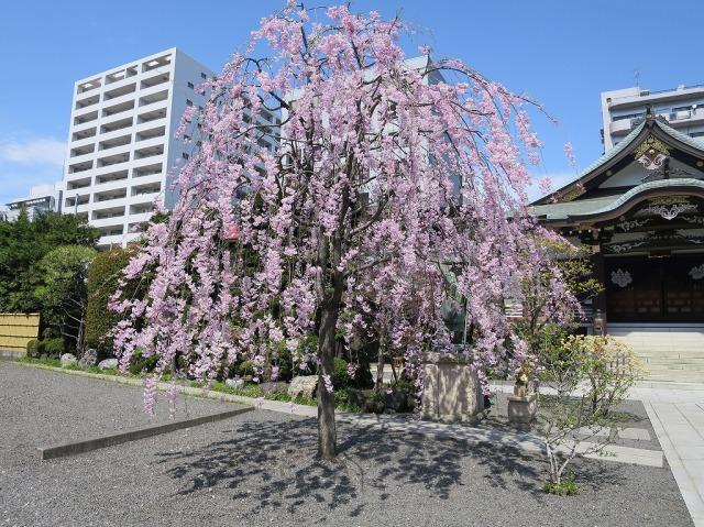 八王子・福傳寺 (福伝寺)の枝垂れ桜