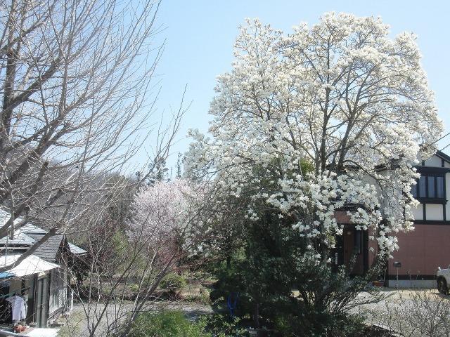 山梨 - コブシの木