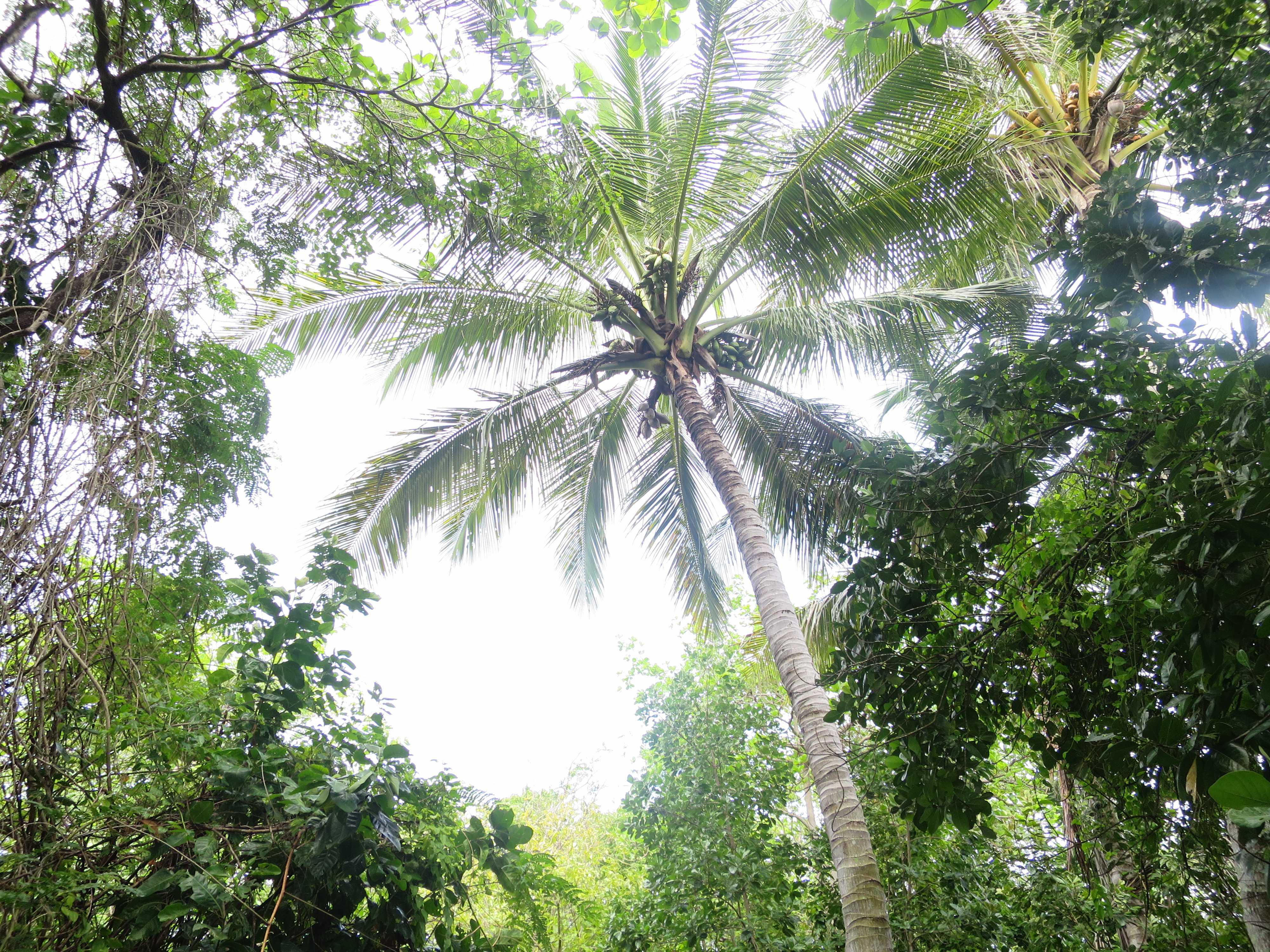 グリーン島 椰子の木