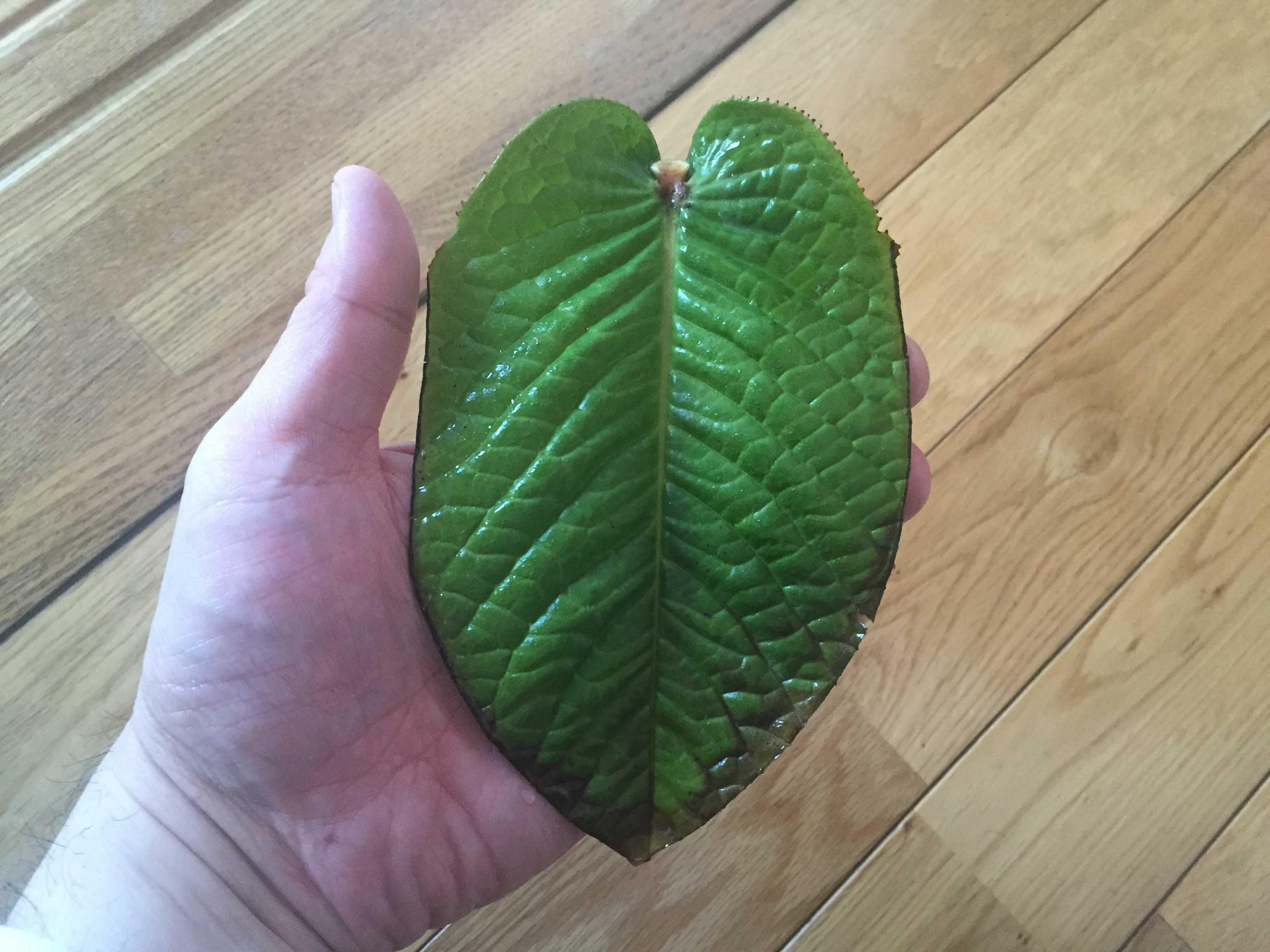 原種椿「ムラウチイ」の葉身 - 葉の表面