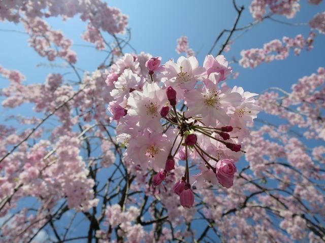 福傳寺 (福伝寺)の枝垂れ桜の花びら