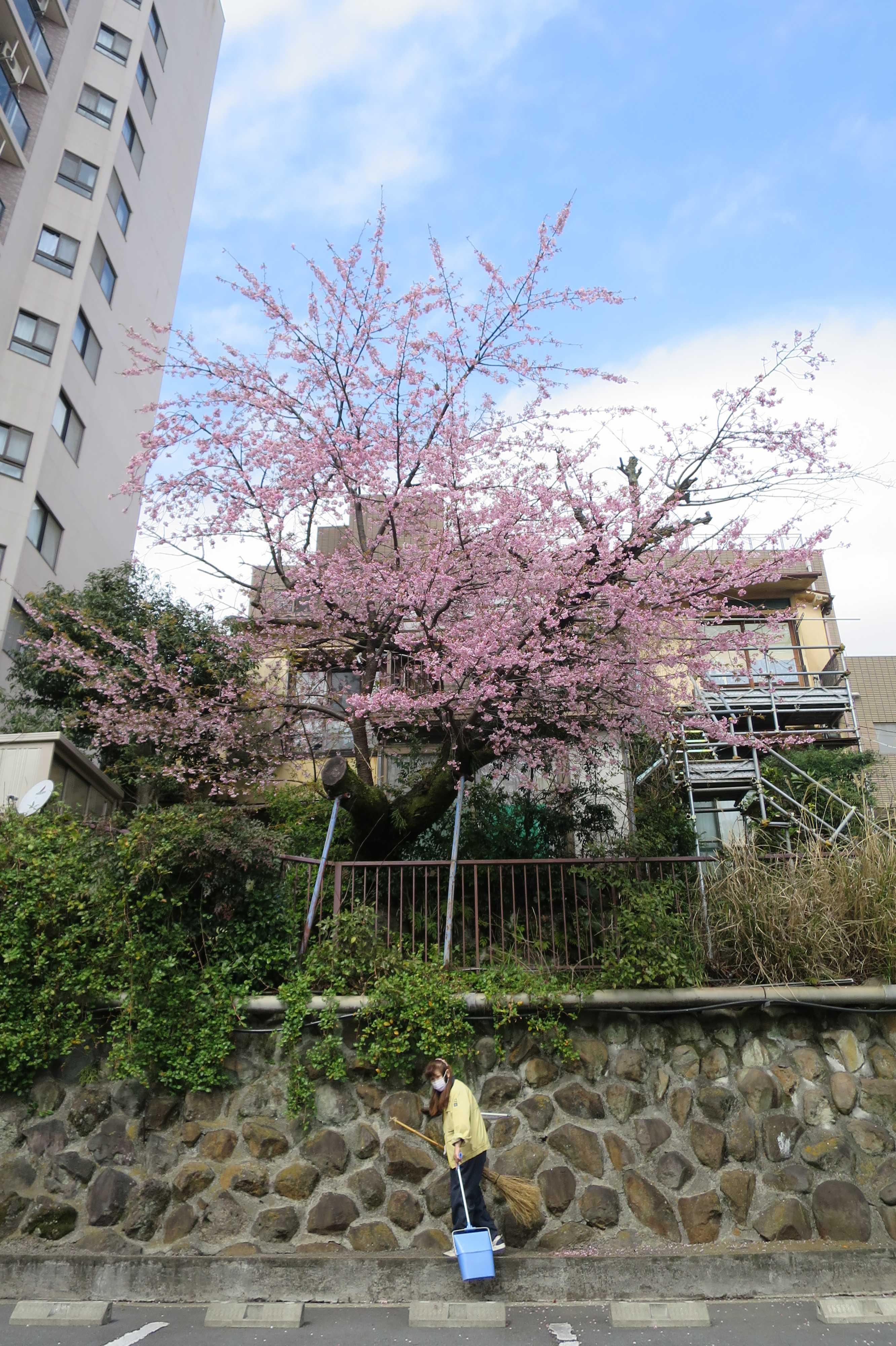 満開!アタミザクラ(あたみ桜) - 静岡県熱海市
