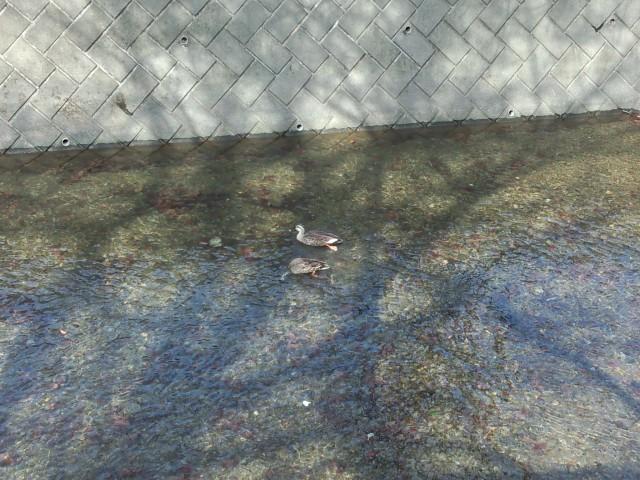 玉川上水の鴨(カモ)