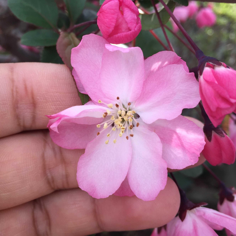 ハナカイドウの花びら