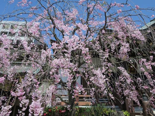 福傳寺の枝垂れ桜(東京都八王子市)