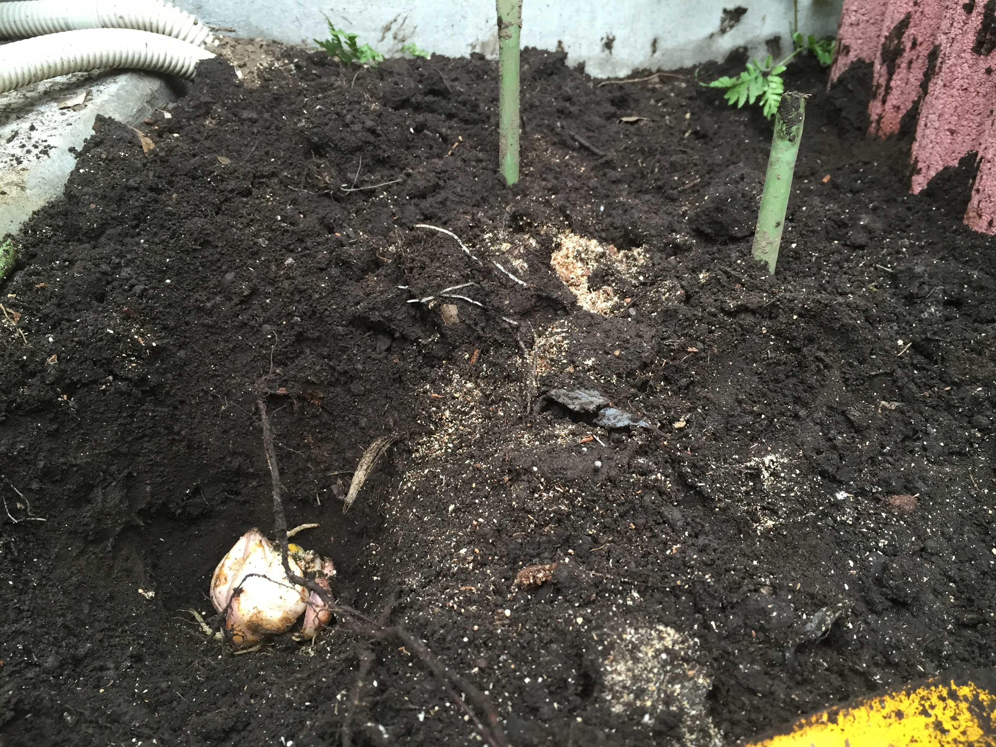 ヤマユリの球根植栽