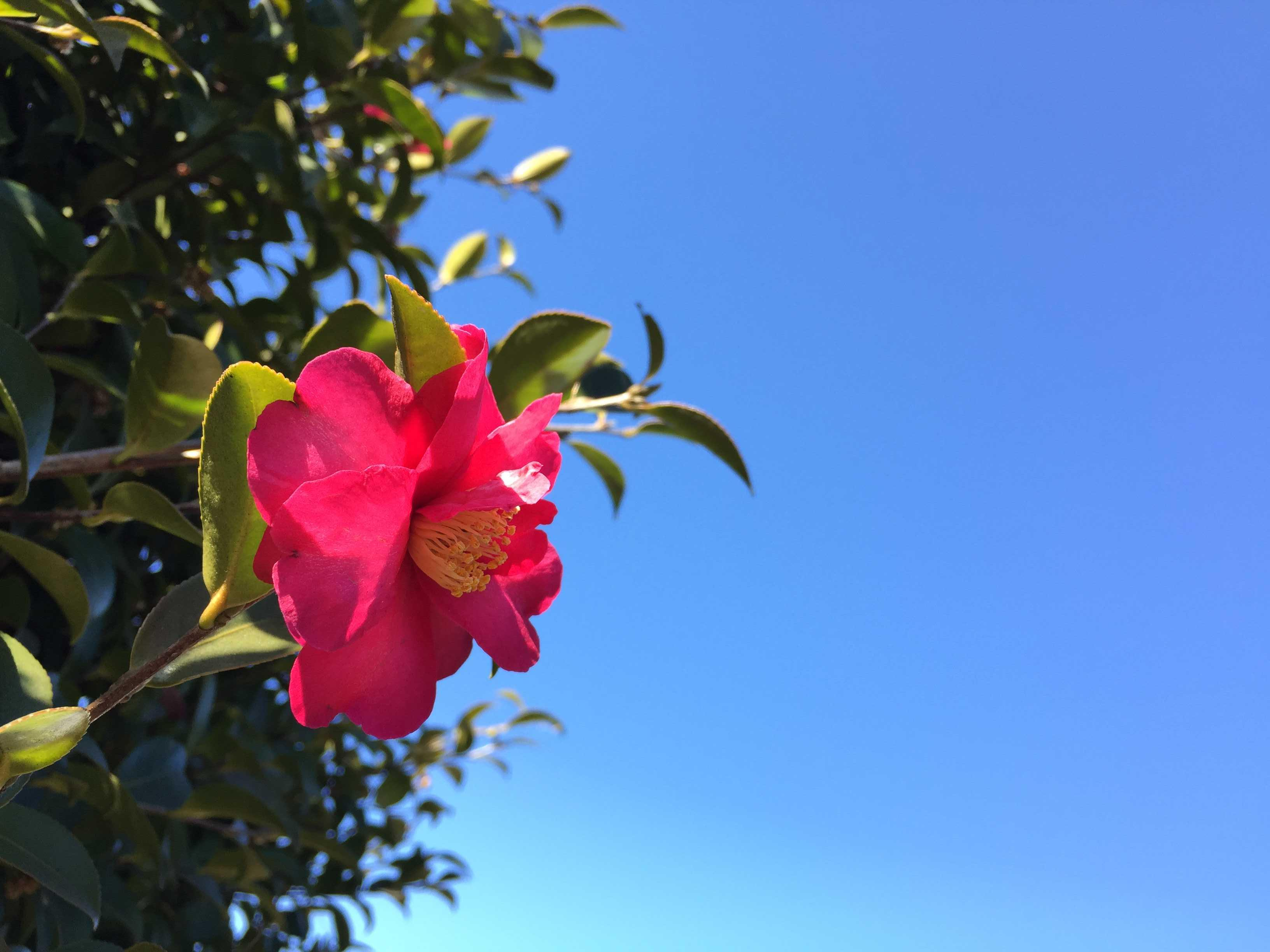 山茶花と青空